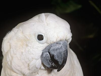Umbrella or White-Crested Cockatoo Head, Cacatua Alba, Polynesia-Joe McDonald-Photographic Print