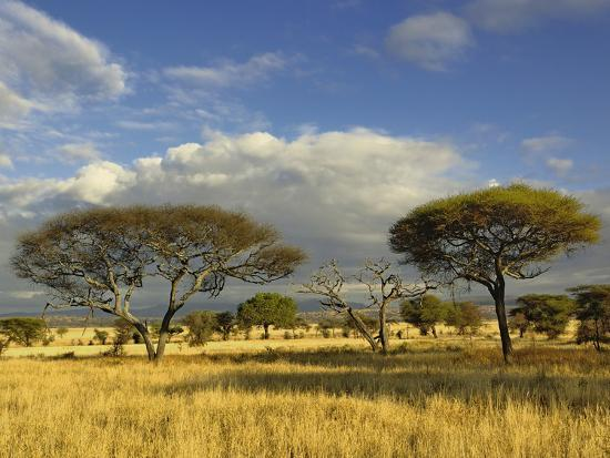 Umbrella Thorn Acacia (Acacia Tortilis), Tarangire National Park, Tanzania, Africa-Adam Jones-Photographic Print