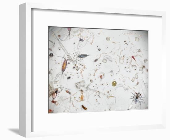 Under a Magnifier, a Splash of Seawater Teems with Life-David Liittschwager-Framed Photographic Print