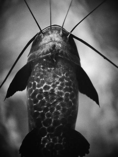 Underneath a Catfish-Henry Horenstein-Photographic Print