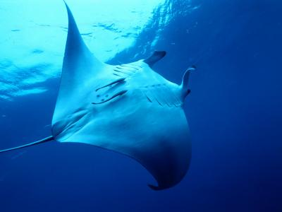 Underside of Manta Ray Between Batteaux Bay and Little Tobago Island, Trinidad & Tobago-Michael Lawrence-Photographic Print