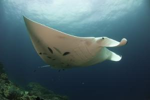 Underside View of a Giant Oceanic Manta Ray, Raja Ampat, Indonesia