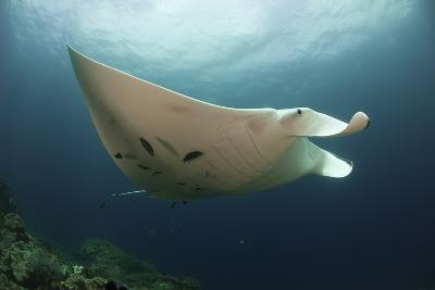 Underside View of a Giant Oceanic Manta Ray, Raja Ampat, Indonesia--Photographic Print