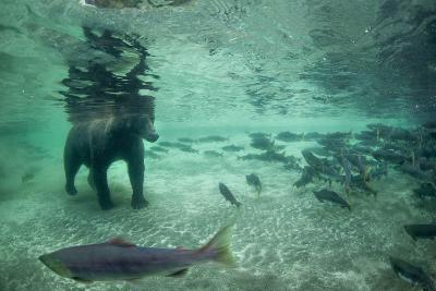 Underwater Brown Bear, Katmai National Park, Alaska-Paul Souders-Photographic Print