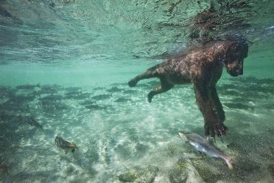 Underwater Brown Bear, Katmai National Park, Alaska--Photographic Print
