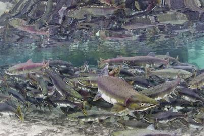 Underwater Spawning Salmon, Alaska-Paul Souders-Photographic Print