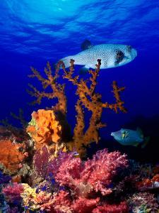 Underwater View of Bristly Puffer Fish (Arothron Hispidus) with Triggerfish and Anthias Fishes