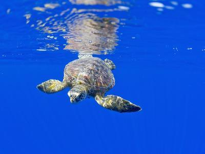 Underwater View of Green Sea Turtle-Paul Souders-Photographic Print