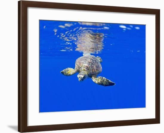 Underwater View of Green Sea Turtle-Paul Souders-Framed Photographic Print