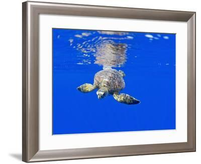 Underwater View of Green Sea Turtle-Paul Souders-Framed Photographic Print