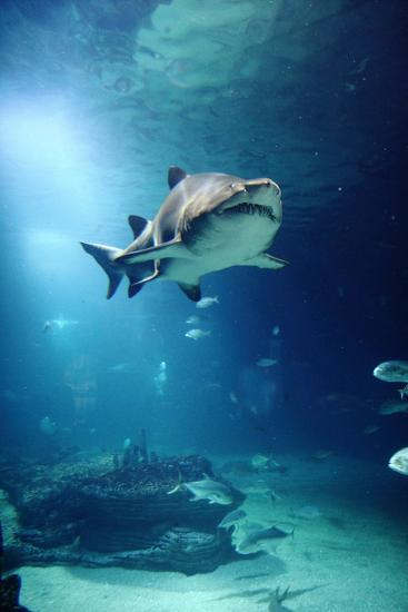 Underwater View of Shark and Tropical Fish-Rich Lewis-Photographic Print