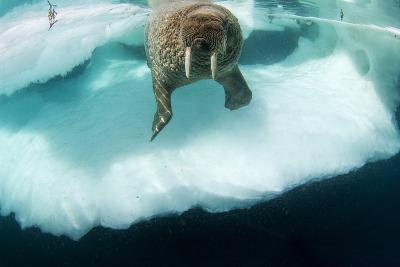 Underwater View of Walrus, Hudson Bay, Nunavut, Canada-Paul Souders-Photographic Print