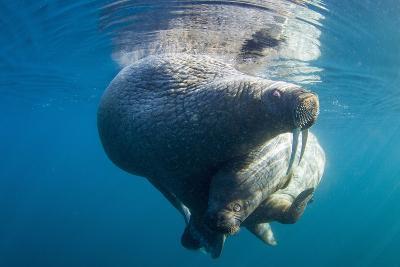 Underwater Walrus, Hudson Bay, Nunavut, Canada-Paul Souders-Photographic Print