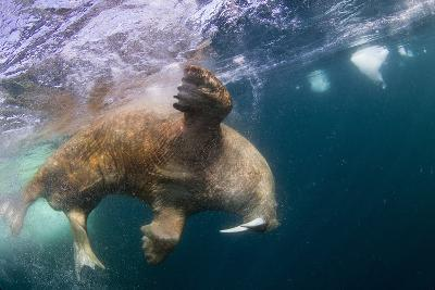 Underwater Walrus, Hudson Bay, Nunavut, Canada-Paul Souders-Photographic Print