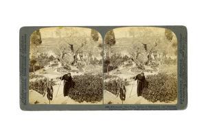 Ancient Olive Trees in the Garden of Gethsemane, Near Jerusalem, Palestine, 1905 by Underwood & Underwood