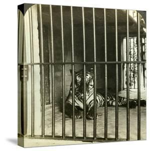 Captured Man-Eating Tiger Blamed for 200 Deaths, Calcutta, India, C1903 by Underwood & Underwood