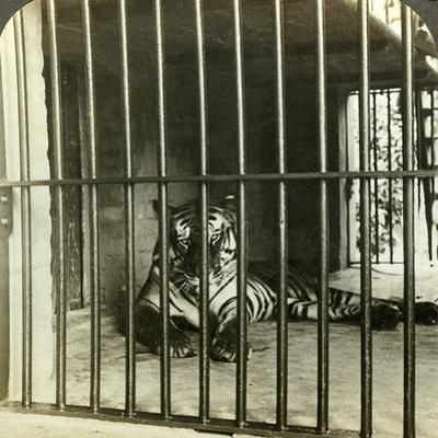 Captured Man-Eating Tiger Blamed for 200 Deaths, Calcutta, India, C1903