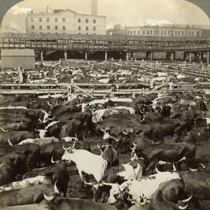 Cattle, Great Union Stock Yards, Chicago, Illinois, USA by Underwood & Underwood