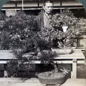 Dwarf Pines and Maples in Count Okuma's Greenhouse, Tokyo, Japan, 1904 by Underwood & Underwood