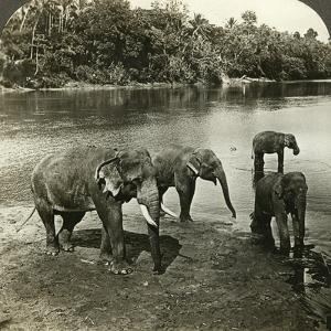 Elephants, Sri Lanka (Ceylo) by Underwood & Underwood