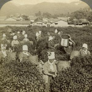 Girls Picking Tea, Uji, Japan by Underwood & Underwood