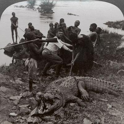 Huge Crocodile Just Landed - Beside the Upper Nile, East Africa, c.1905
