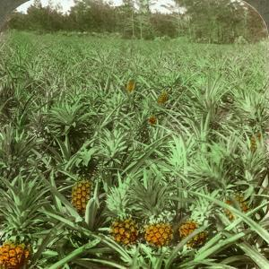 Where the Luscious Pineapple Grows, Florida, USA, 1896 by Underwood & Underwood