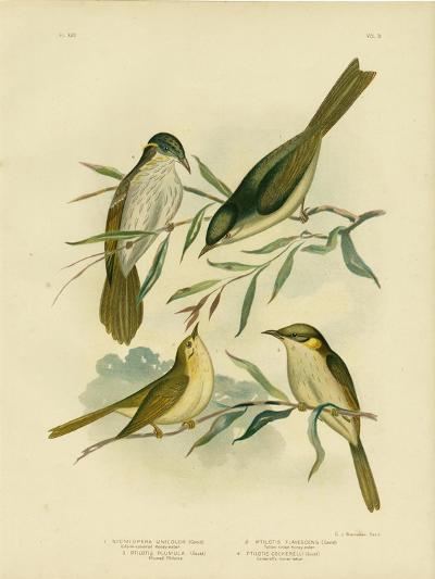 Uniform-Coloured Honeyeater or White-Gaped Honeyeater, 1891-Gracius Broinowski-Giclee Print