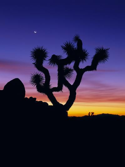 Unique Yucca Tree, Joshua Tree National Park, California, USA-Jerry Ginsberg-Photographic Print