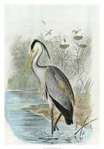 Common Heron by Unknown