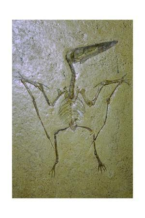 Fossil of a Pterodactyl. Artist: Unknown