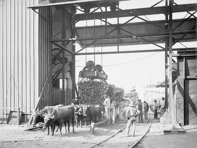 Unloading Cane at a Modern Mill--Photo
