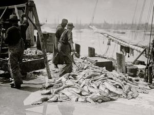 Unloading Gortons Codfish, Gloucester, Mass.