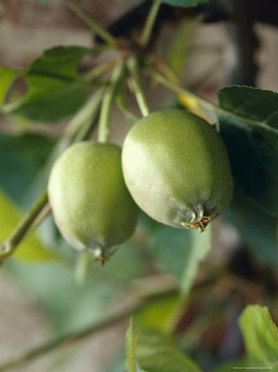 Unripe Royal Gala Apples Growing on a Branch Limb, North Carlton, Australia-Jason Edwards-Photographic Print