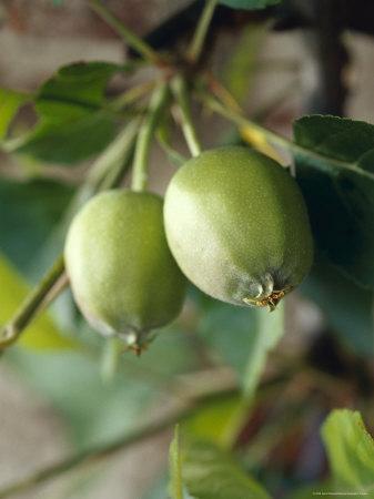 https://imgc.artprintimages.com/img/print/unripe-royal-gala-apples-growing-on-a-branch-limb-north-carlton-australia_u-l-p2yqi90.jpg?p=0