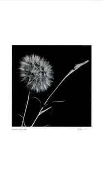 Untitled (dandylion)-Morry Katz-Limited Edition