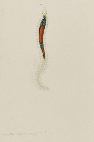 Untitled: Marine Bristle Worm-Philip Henry Gosse-Giclee Print