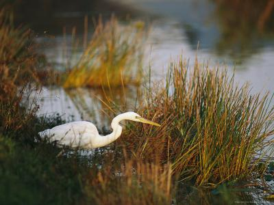 Unusual White-Tinged Great Blue Heron, Ardea Herodias-Raymond Gehman-Photographic Print