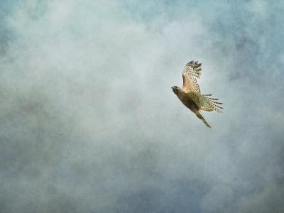 Up Up and Away Red Shouldered Hawk-Jai Johnson-Giclee Print