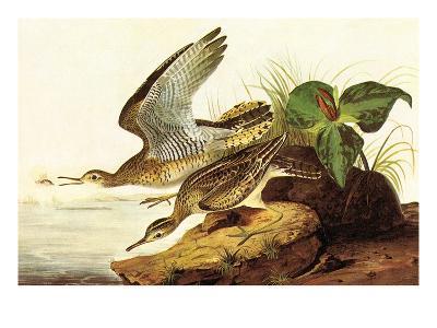 Upland Plover-John James Audubon-Art Print