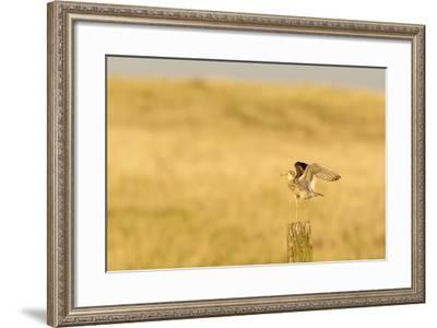 Upland Sandpiper Bird, Bowman, North Dakota, USA-Chuck Haney-Framed Photographic Print
