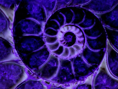 Upper Early Cretaceous Ammonite Fossil under Ultraviolet Light-John Cancalosi-Photographic Print