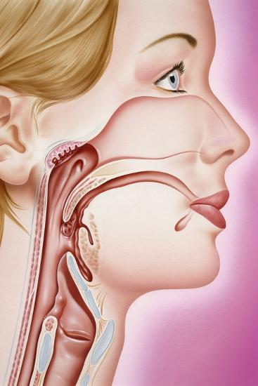 Upper Respiratory Tract, Artwork-John Bavosi-Photographic Print