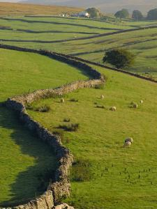 Stonewalls and Sheep, Near Ribblehead, Yorkshire, England, UK, Europe by Upperhall Ltd