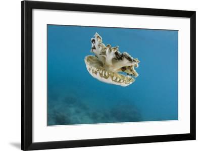 Upside Down Jellyfish (Cassiopea), Rainbow Reef, Fiji-Pete Oxford-Framed Photographic Print