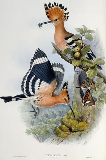 Upupa Epops-John Gould-Giclee Print