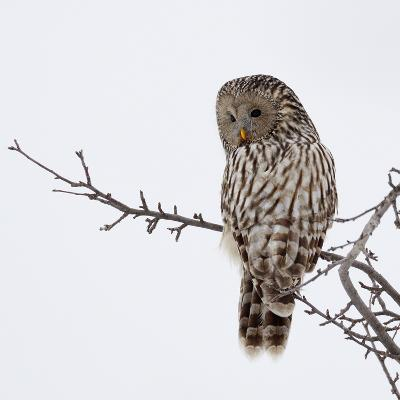 Ural Owl In Natural Habitat (Strix Uralensis)-geanina bechea-Photographic Print
