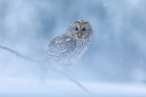 Ural Owl Portrait in Winter Forest, Ural Owl Perched in Winter Forest
