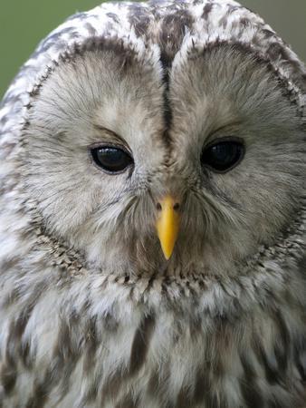Ural Owl (Strix Uralensis) Portrait, Bergslagen, Sweden, June 2009-Cairns-Framed Photographic Print
