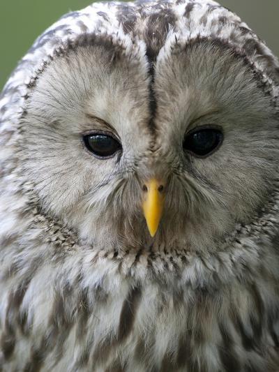 Ural Owl (Strix Uralensis) Portrait, Bergslagen, Sweden, June 2009-Cairns-Photographic Print